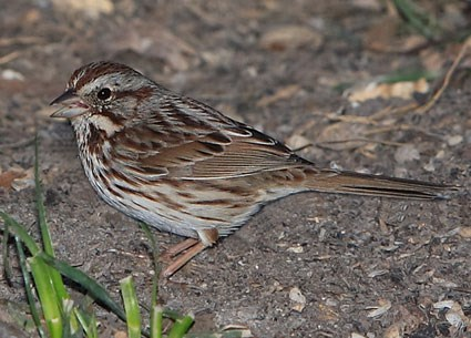 Adult eastern form