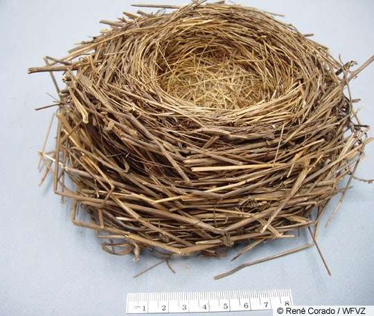 Song Sparrow Nest Image 1