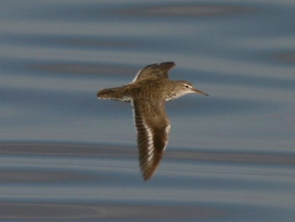 Adult breeding in flight