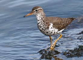 Spotted Sandpiper Photo