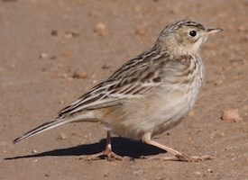 Sprague's Pipit Photo