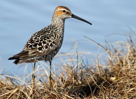 Stilt Sandpiper Photo