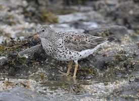 Surfbird Photo