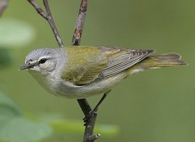 Tennessee Warbler Photo