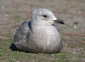 Thayers Gull Photo