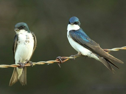 Adult female (left) and male (right)