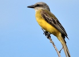 Tropical Kingbird Photo