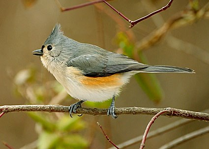 [Image: tufted_titmouse_2.jpg]