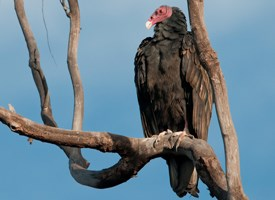 Turkey Vulture Photo