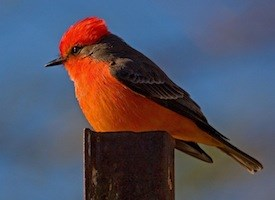 Vermilion Flycatcher Photo