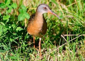 Virginia Rail Photo