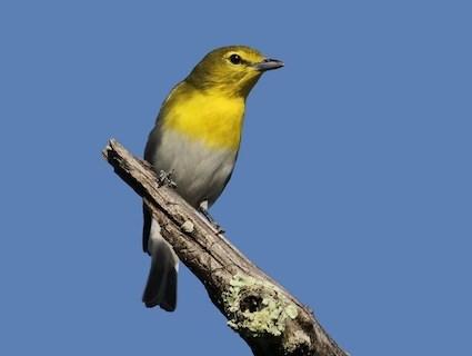 Yellow-throated Vireo | Outdoor Alabama