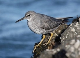 Wandering Tattler Photo
