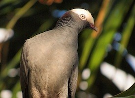 White-crowned Pigeon Photo