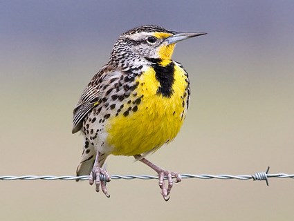 Image of The Western Meadowlark