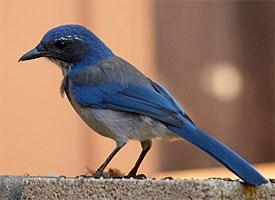 Western Scrub-Jay Photo