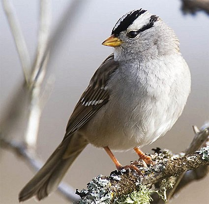 White-crowned Sparrow, Identification, All About Birds ...