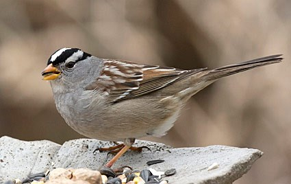White-throated Sparrow, Identification, All About Birds ...
