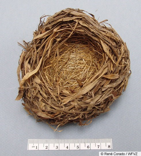 White-crowned Sparrow Nest Image 1