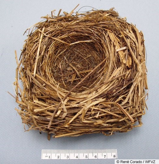 White-throated Sparrow Nest Image 1