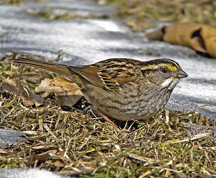 Adult tan-striped