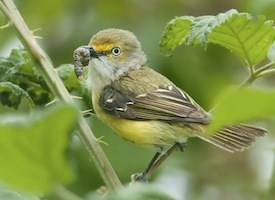 White-eyed Vireo Photo