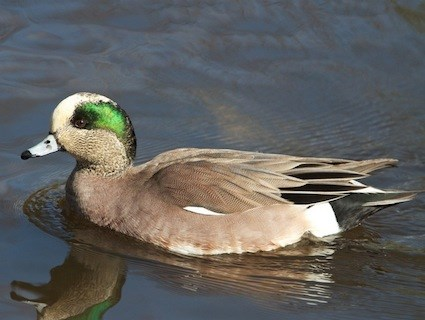American wigeon - photo#15