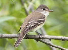 Willow Flycatcher Photo