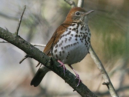 Wood Thrush Identification All About Birds Cornell Lab
