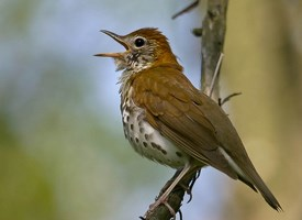 Wood Thrush Photo