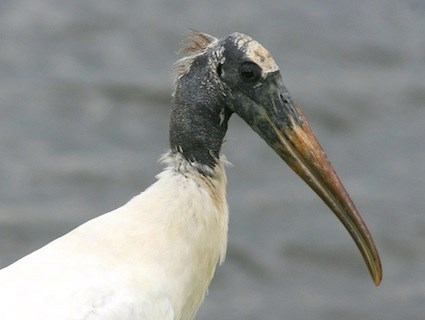 Wood Stork Identification All About Birds Cornell Lab