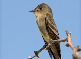 Western Wood-Pewee Photo