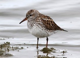 White-rumped Sandpiper Photo