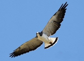 White-tailed Hawk Photo