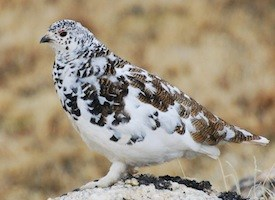 White-tailed Ptarmigan Photo