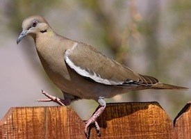 White-winged Dove Photo