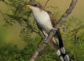 Yellow-billed Cuckoo Photo