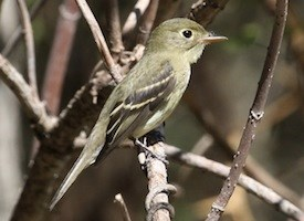 Yellow-bellied Flycatcher Photo