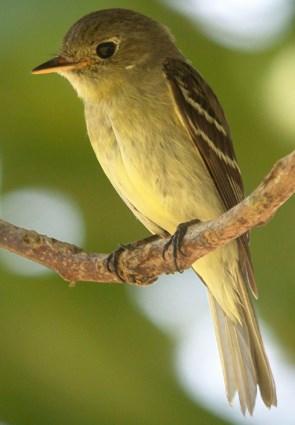 Yellow-bellied Flycatc...