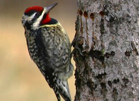 Yellow-bellied Sapsucker Photo