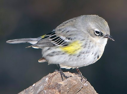 Yellow-rumped Warbler, Identification, All About Birds ...