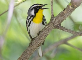 Yellow-throated Warbler Photo