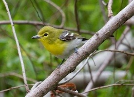Yellow-throated Vireo Photo