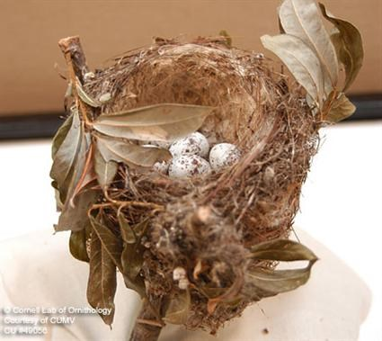 Yellow Warbler Nest Image 1