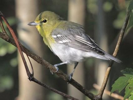Yellow-throated Vireo photos | Birdspix